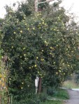 Quittenbaum auf dem Lande