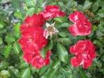 Duschhandschuh antistress beinhaltet Rosenblueten