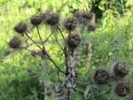 grosse Klette in unserem Garten fuer Haarwuchsmittel