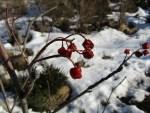 Glasbeeren als Wintersteher u Vogelnahrung im Februar auf 1300 m.u.M.