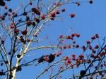 Vogelbeeren ist auch im Februar Vogelnahrung