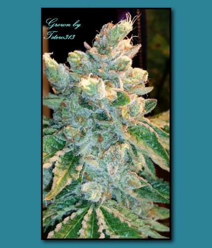 Triangle Mints von Seed Junky Genetics  SeedFinder