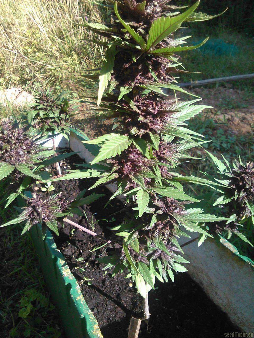 Crystal Meth von Fast Buds Company  Cannabis Sorten Infos
