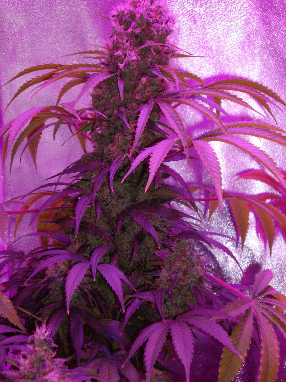 White Skunk von White Label  Cannabis Sorten Infos