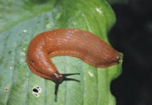 slak in moestuin