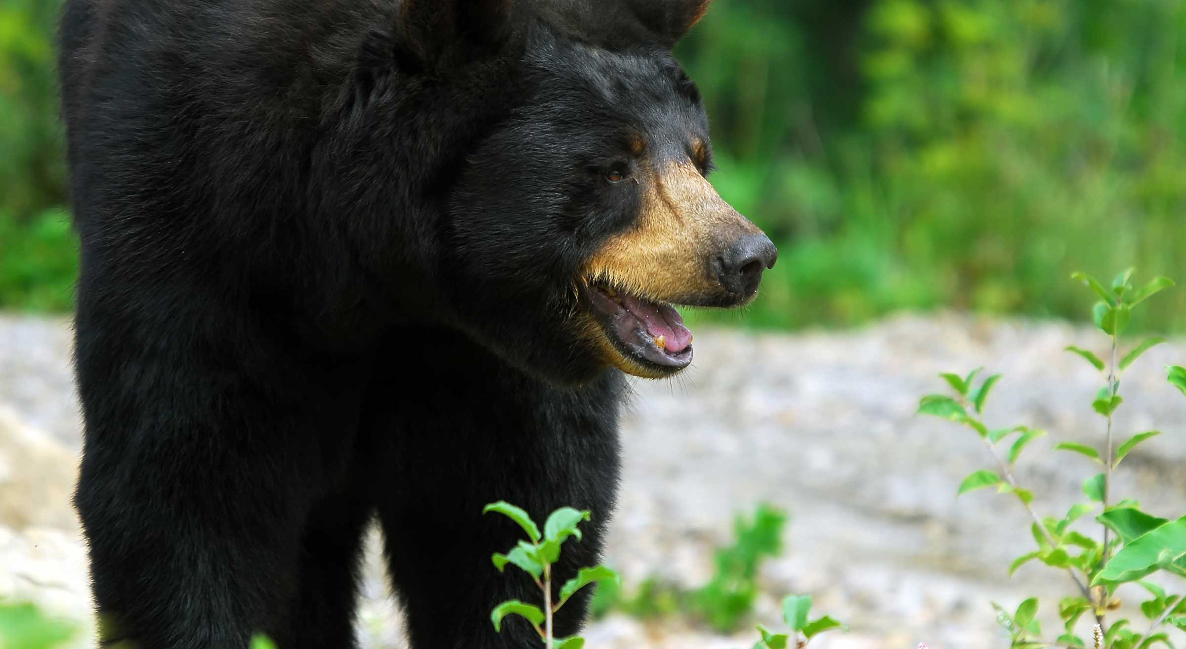 New Brunswick Black Bear Hunting
