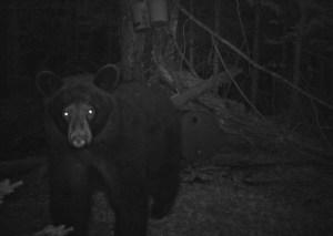 BBB- Big Black Bear