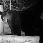 Black bear at night