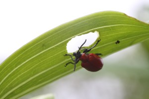 Scarlet_lily_beetle_eating_leaf