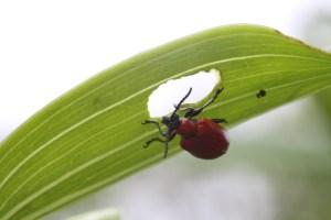 Scarlet_lily_beetle_eating_leaf