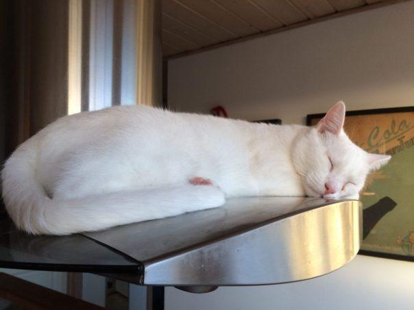 kat sove højt, døv kat, kat sover tungt, hvid kat