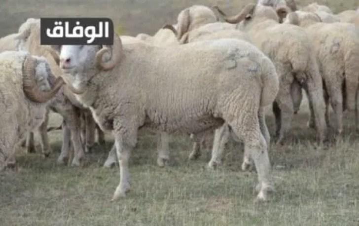 انواع الكباش في الجزائر