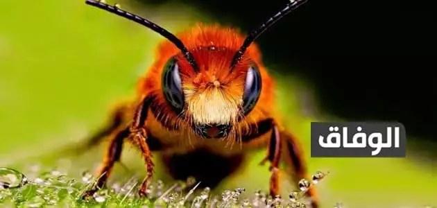 كم عدد عيون النحله
