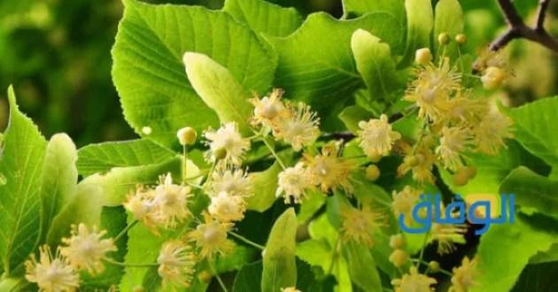 عشبة الزيزفزن وعلاج دوالي الخصيتين