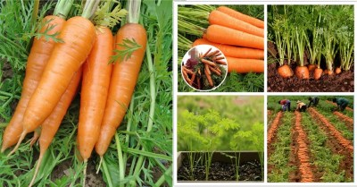 Amazon: 50pcs Carrot Seeds Carrot Seeds Terrace Garden Potted Vegetable Seeds Four Seasons $4 ($13.3)