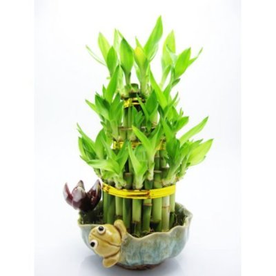 Walmart: 9GreenBox – Live 3 Layer Cake Lucky Bamboo Plant $12.99