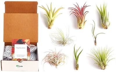 Amazon: Purifying Live Indoor Air Plants 8-Pack for ONLY $11.99 (Regularly $18)