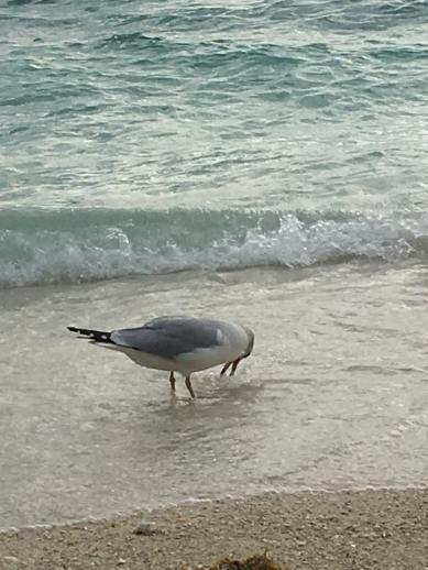 shorebird-feeding