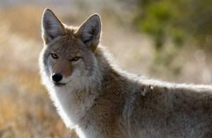 varmint and coyote hunting binoculars