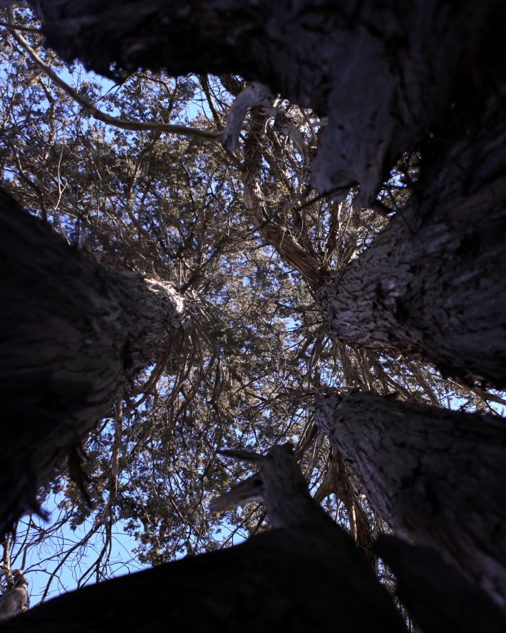 Image of tall trees from the perspective of a person on the ground