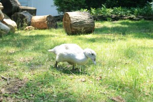 Muscovy Madness: Pros and Cons – Dear Juneberry…
