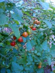 Cherry tomatoes ripe for picking in October DearKidLoveMom.com