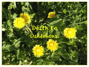 Death to Dandelions (at least the ones in my lawn) DearKidLoveMom.com