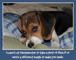 A beagle named Miss P won the 2015 Westminster Dog Show. I wasn't there to take a photo, so here's another beagle to make you smile. DearKidLoveMom.com