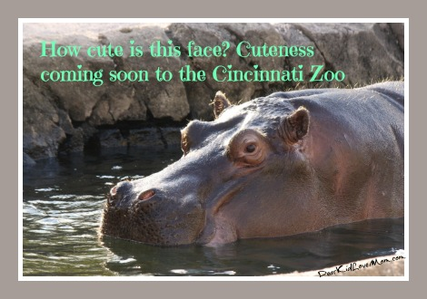 How cute is this Hippopotamus face? Cuteness coming soon to the Cincinnati Zoo. DearKidLoveMom.com