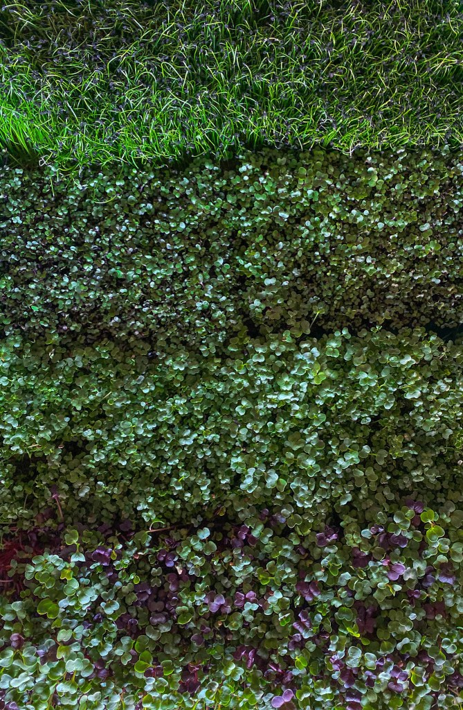 Any one of these delicious micro greens will go with any fish recipe!