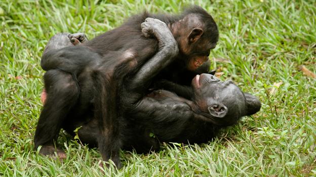 Gay animals bonobos