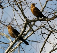 A pair of female Grackles