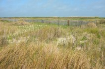Dune grass at Sea Rim