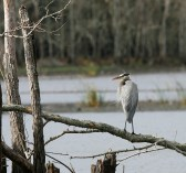 Great Blue Heron perched above 40-Acre Lake at Brazos Bend