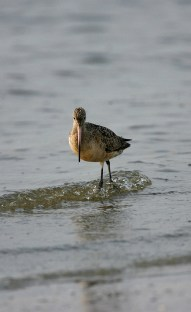 Marbled Godwit stands its ground as a wave rushes out behind it