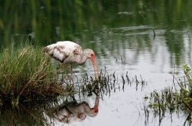 Juvenile probing the grass at Anahuac National Wildlife Refuge