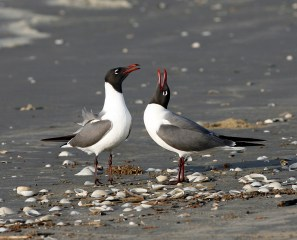 Courting on Galveston Beach
