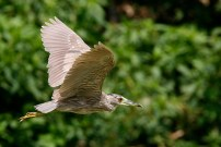 A juvenile Black-crowned Night-Heron in flight