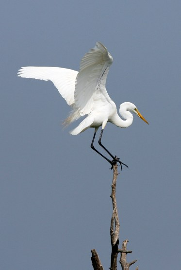 Great Egret making a tight landing