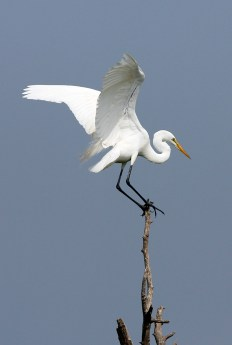 Great Egret on a precarious perch