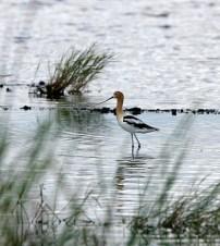 American Avocet on Gator Nest Pond