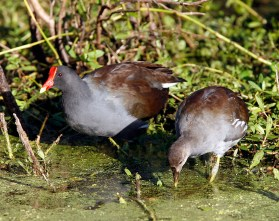 Adult moorhen in summer plumage with a juvenile