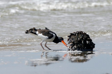 American Oystercatcher picking at barnacles