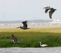 Brown Pelicans and a Great Egret