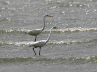 A pair of Great Egret in the surf