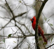 Norther Cardinal with its piercing call