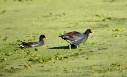 A pair of Moorhen stepping through a plant-covered pond