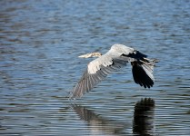 Great Blue Heron flying with littel effort inches above the water