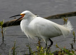 Snowy Egret snaps up a bug