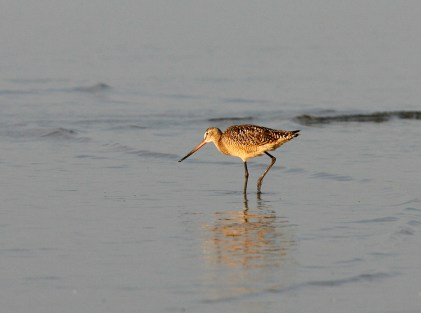 Marbled Godwit foraging in the shallows